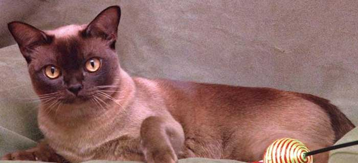 Burmese Cat Burmese are one of